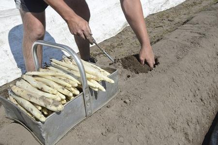 Zbiór szparagów w Niemczech praca - czy warto? | Prosenior24 pl